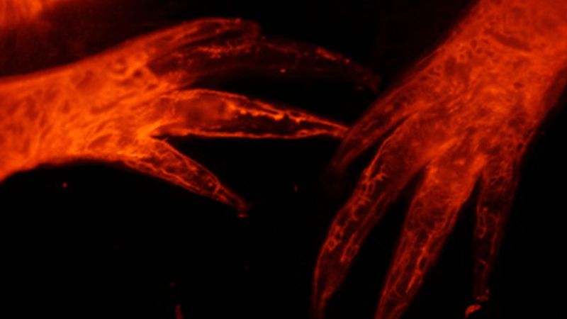 Microscopy image of salamander digits